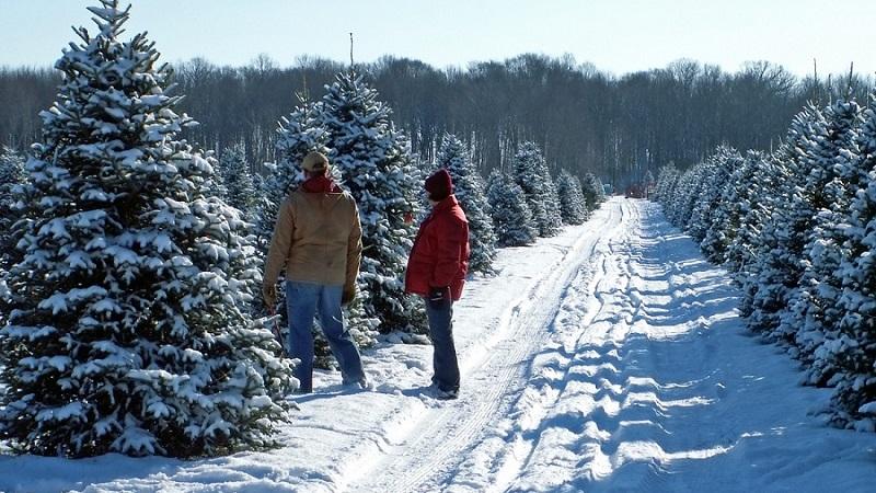 Полезные предпраздничные советы: как выбрать елку на Новый год, установить и продлить ее жизнь